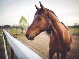 Brun hest på banen